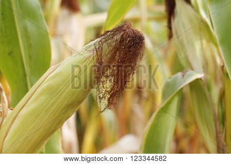 cornfield corn fruits close-up in natural conditions