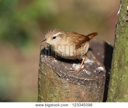 Close up of a wren searching for food