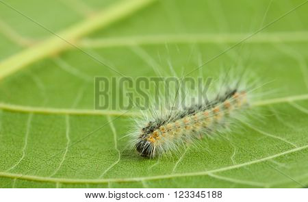 Hyphantria cunea larva crawling on green leaf