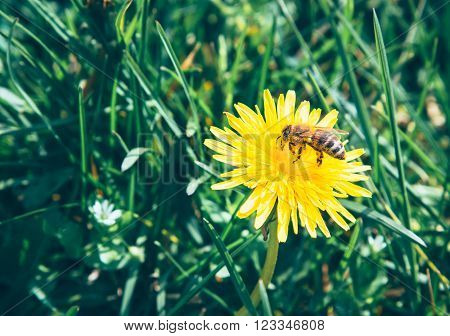 Bee collects nectar on a yellow dandelion