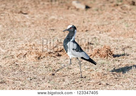 A blacksmith plover, also called a blacksmith lapwing, Vanellus armatus, walking