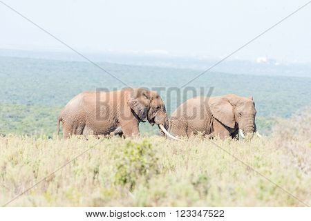 Two African Elephant bulls, Loxodonta africana, between shrubs, one with large tusks