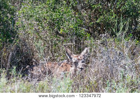 A young kudu calf blends in perfectly with its surroundings