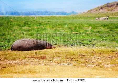 Hippo resting at savanna in Maasai Mara National Park of Kenya, Africa