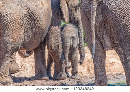 Safely with mother - an African Elephant mother Loxodonta africana comforting her calf