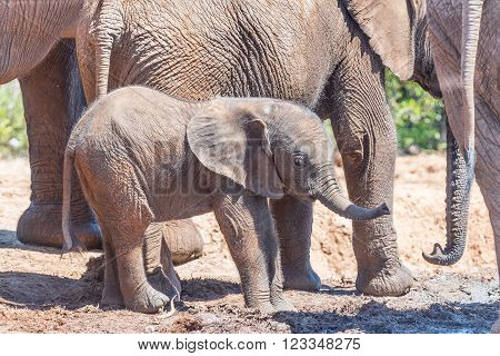 A tiny African Elephant calf, Loxodonta africana, surrounded by its family group