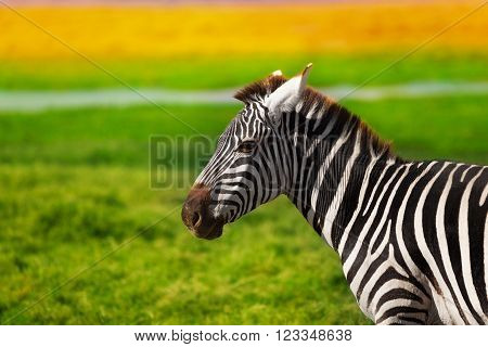 Close-up portrait of beautiful African zebra at the savannah of Kenya