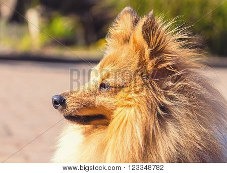 Shetland Sheepog sits on a street, side portrait