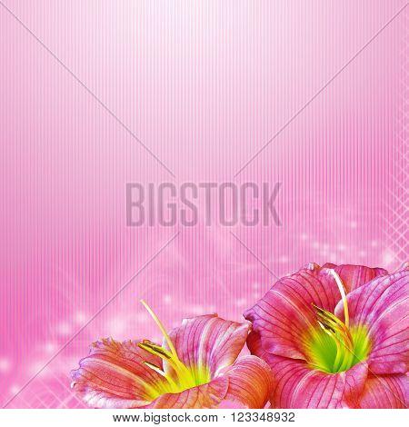 close up hemerocallis flowers on pink background