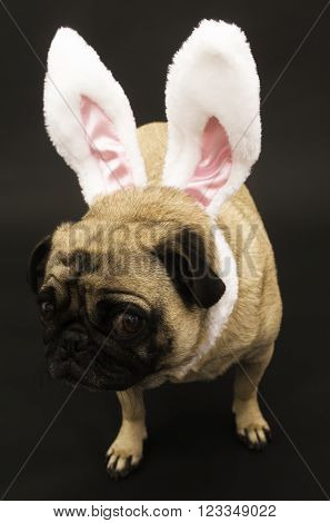 Easter Pug with Bunny Ears on Black Background.