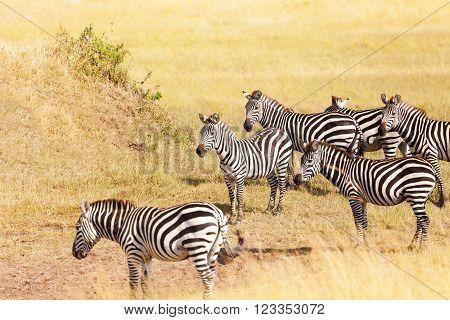 Zebra's grazing on grassland in Amboseli National Park, Africa