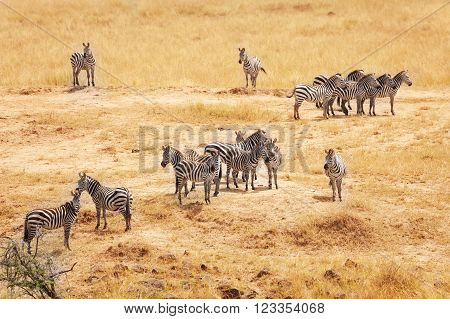 Great migration of zebras in the Masai Mara National Reserve, Kenya, Africa