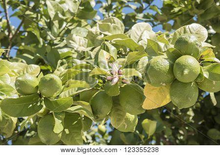 Unripe lemons on the tree lemon blossom