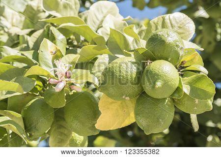 Unripe lemons on the tree with azahar flower