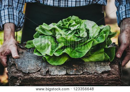 Organic vegetables. Farmers hands with freshly harvested vegetables. Fresh organic lettuce.