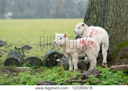 Lambs sheltering from the rain on the Easter Weekend. Holy Saturday in Somerset England saw heavy rain. These young lambs shelter under a tree on farmland near Bath Somerset UK