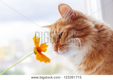 Ginger cat sniffs a bright yellow flower. Cozy morning at home. ** Note: Shallow depth of field
