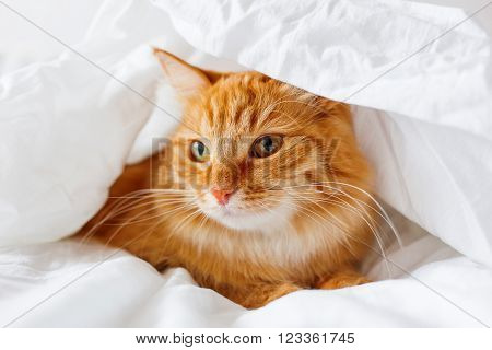 Ginger cat lies on bed. The fluffy pet comfortably hid under a blanket to sleep or to play. Cute cozy background, morning bedtime at home.