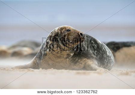Atlantic Grey Seal (Halichoerus Grypus) on sandy beach