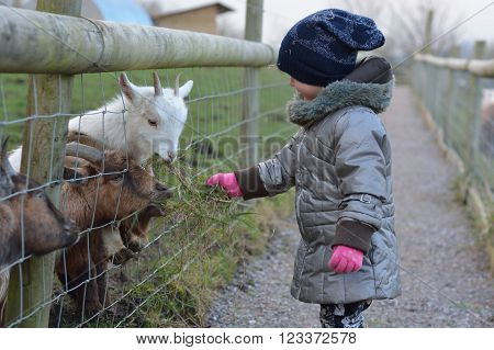Young child feeding grass to pygmy African goats. An infant girl offers food to a pair of tiny goats, on a farm in Somerset, UK