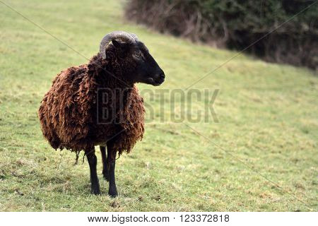 Soay sheep in field. A brown rare breed sheep on a farm in Somerset, UK