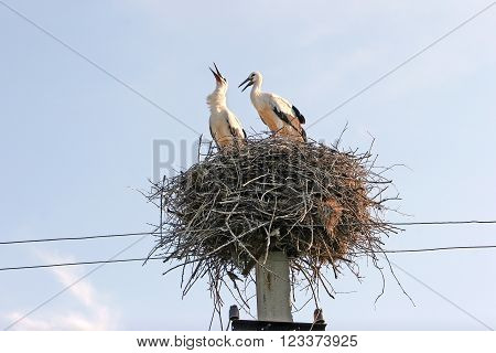 Family Of Two Storks In The Nest Are Built On Electric Poles. Stork Looked Up To The Sky, And Produc