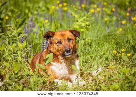 Young dog laying in the meadow grass at hot day time.