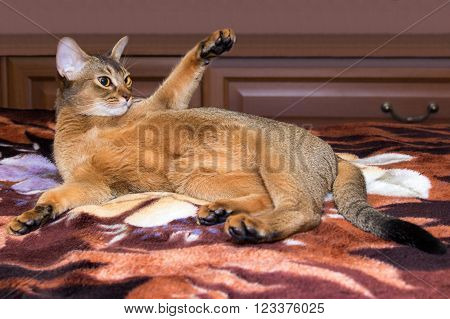 red Abyssinian cat stretches on the bed
