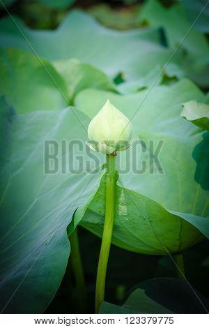 blooming lotus flower in pond,Green lotus flower