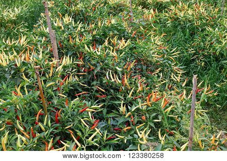 Chili Pepper Plantation agriculture with spicy vegetable in asia