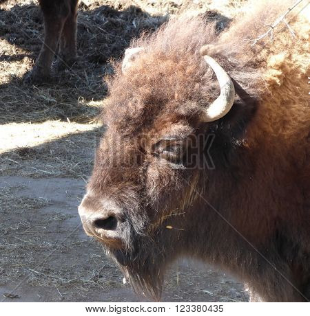 A close up of a head of a bison or a buffalo