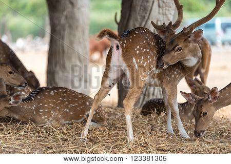 Fallow deers, Animals and Wildlife scene concept.