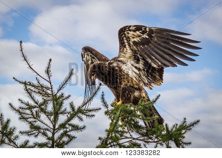 Golden eagle with spread wings, on the sky background