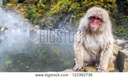The Snow monkey in hotspring at fall season