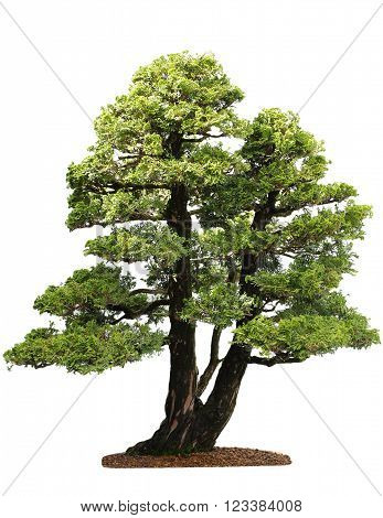 Small cupressus bonsai tree isolated on white background