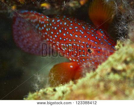 Close-up coral grouper with solf coral in similan Thailand.