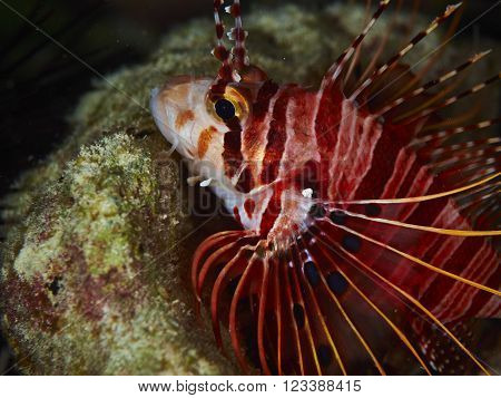 Spotfin Lionfish swims next to some marine plants
