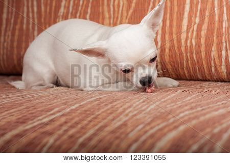 White Chihuahua lying on sofa with chewy treat, 3 years old female.