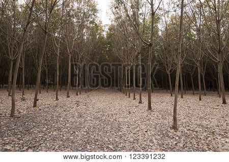 Rubber Tree Farming And Plantation, Agriculture Asia Latex Sap Collection.