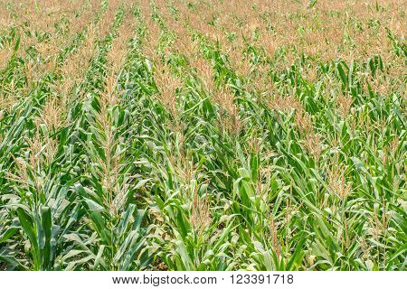corn field green nature for the background