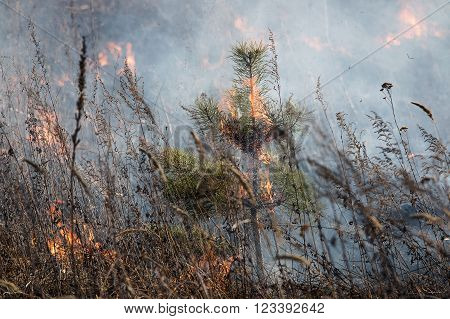 small Siberian pine burns in a fire