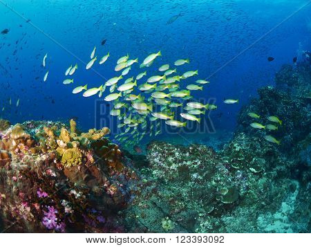 School Bigeye Snapper fish on coral reef in ocean