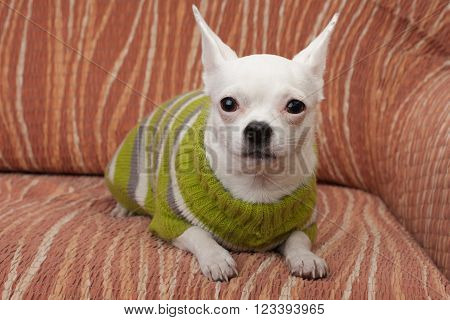 White Chihuahua  Dressed With Pullover Lying On Sofa