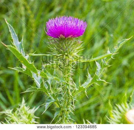 Single Thistle Flower in Bloom in the field