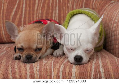 Two Chihuahua Dogs Dressed With Pullovers Resting On Sofa