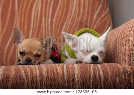 Two Chihuahua dogs dressed with pullovers resting on sofa, 4 months old cinnamon puppy and 3 years old white female.