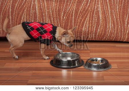Chihuahua Puppy Dressed With Pullover Standing On Floor