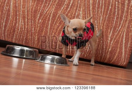 Chihuahua Puppy Dressed With Pullover Licking After  Feeding Gra