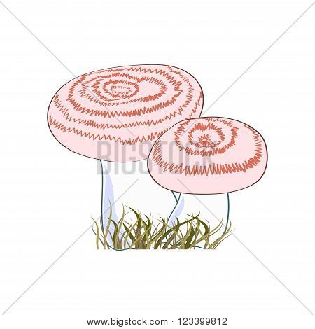 Eatable mushrooms isolated on white background. Volnushki. Vector illustration.
