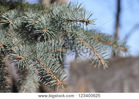 Branch rare fluffy blue spruce with blurred background